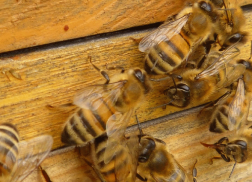 Honigbienen (Apis mellifera)