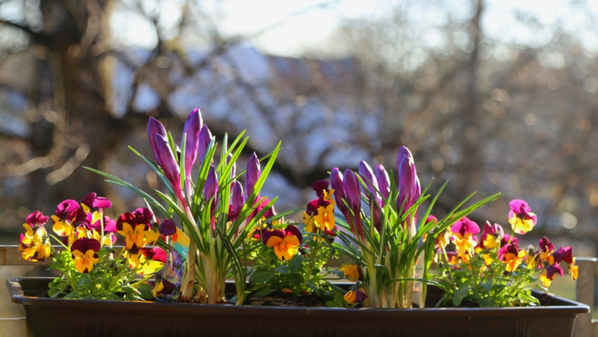 Frühlingsbeginn im Balkonkasten: