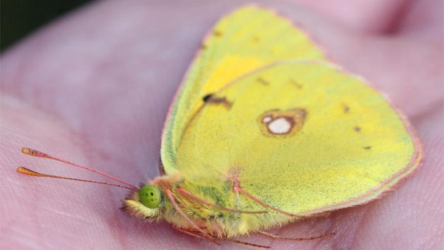 Toter Postillion: (Wandergelbling - Colias croceus))