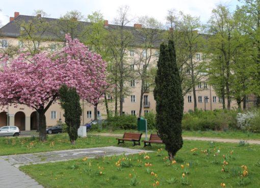 Kirschblüte auf dem Grazer Platz