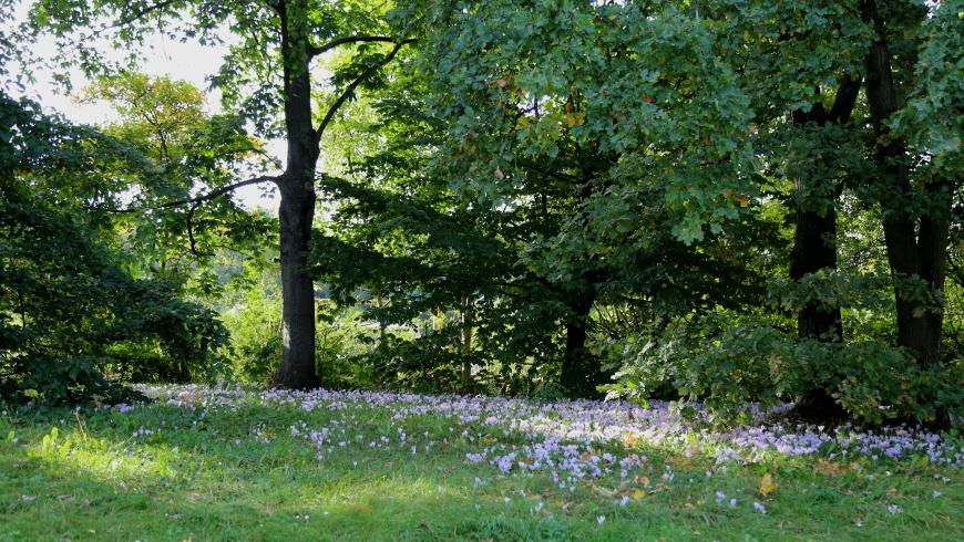 Krokusblüte im Herbst