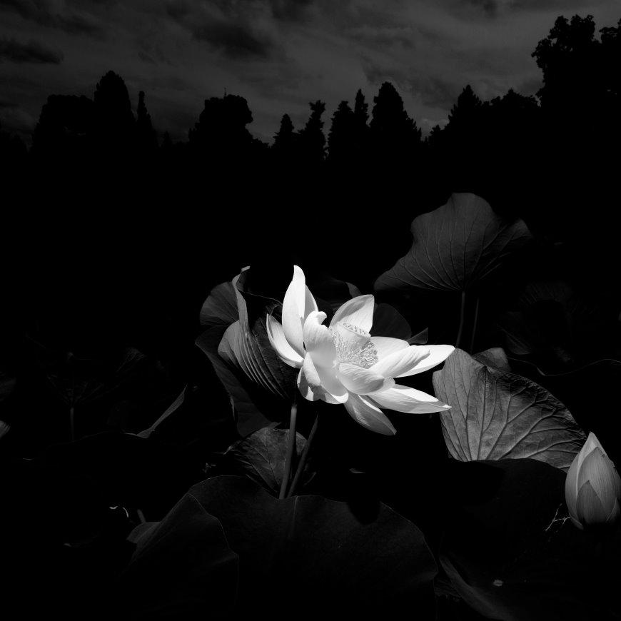 Mise en Scene: An American Lotus