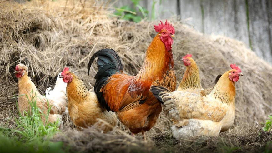 Hühnerhaltung