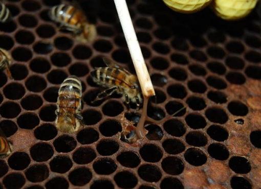Amerikanische Bienenfaulbrut,
